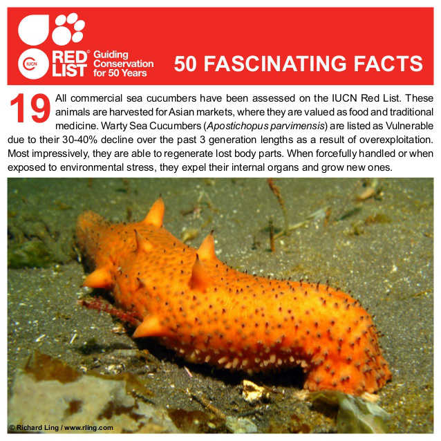 warty sea cucumber